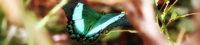 seaforde butterfly
